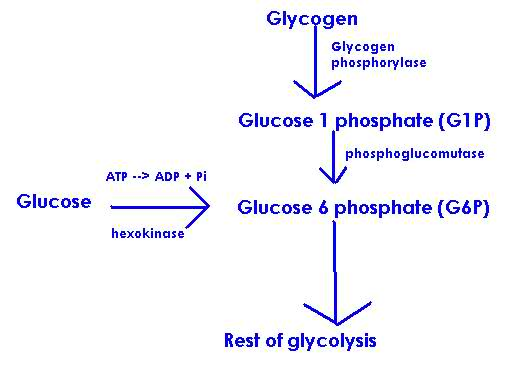 Introduction to exercise metabolism