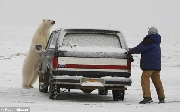 Chilling game of hide and seek with a hungry polar bear
