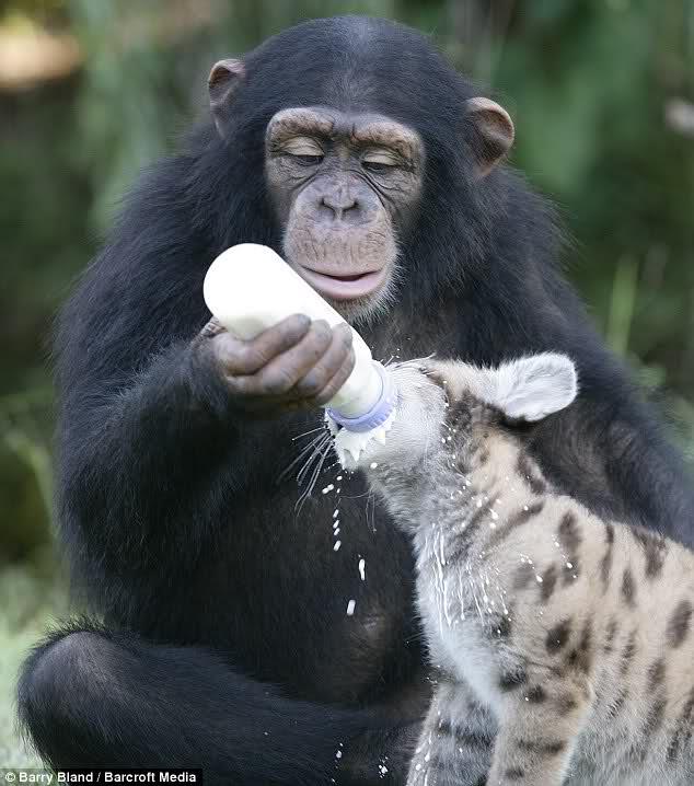 Chimp and puma cub