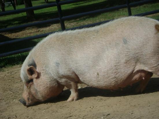 white piglet hog Snort 1